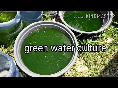 Green Water Culture Tutorial. Phytoplankton Culture. 100% Success Rate.