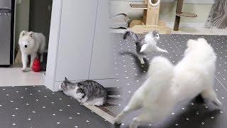 고양이가 강아지를 놀래키는 방법ㅋㅋㅋㅋ