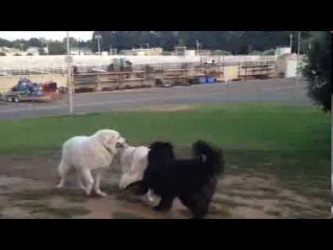 Great Pyrenees VS Newfoundland