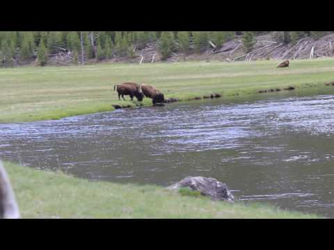Yellowstone Bison crossing river 2013