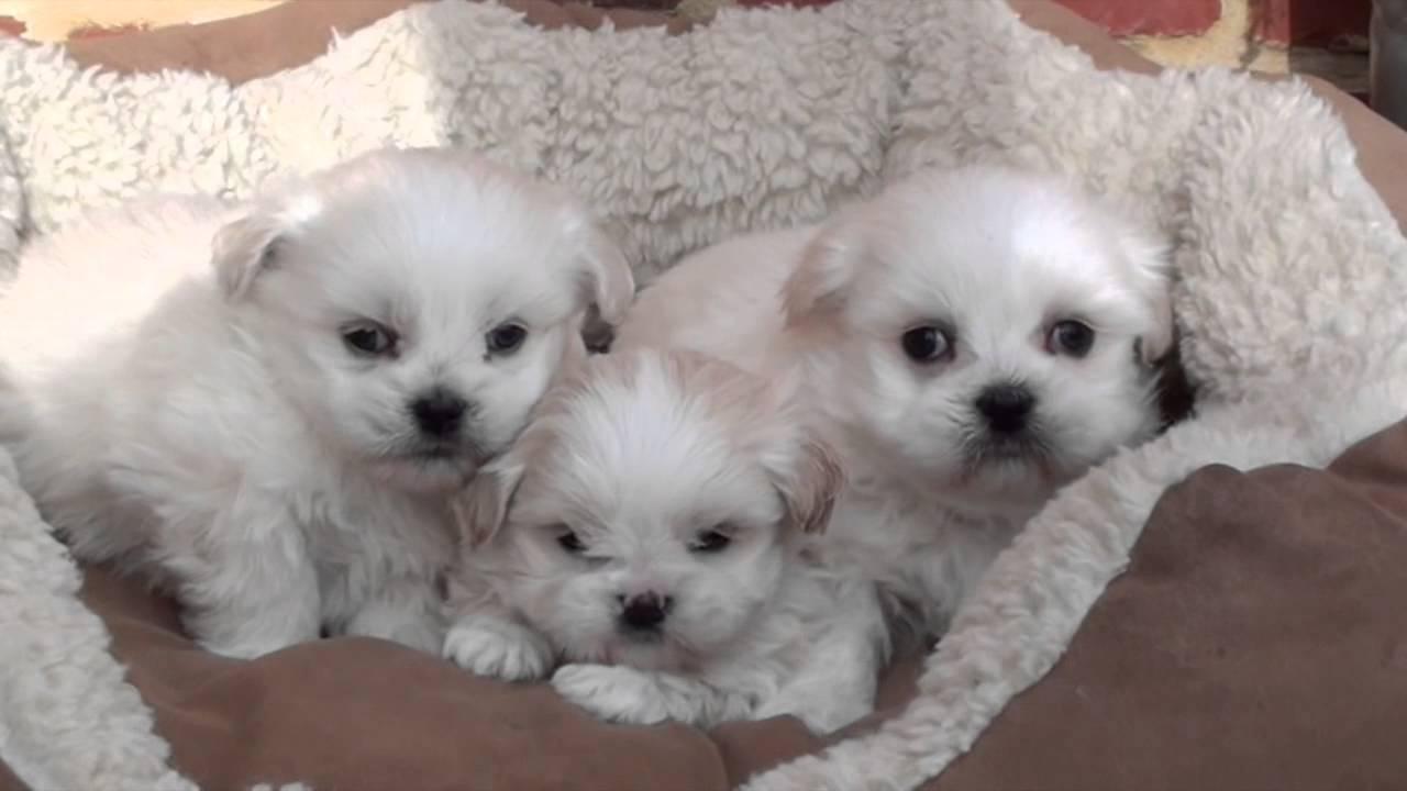 Kleine Honden Te Koop  Shih tzu puppie s tekoop puppies  Cane corso pups te koop kennel