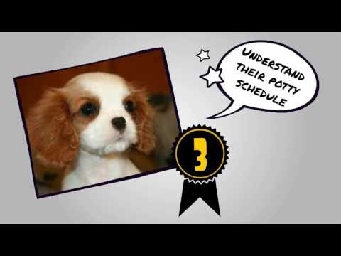 How to Potty Train A Cavalier King Charles Puppy FAST | Potty train Cav King Charles At Home
