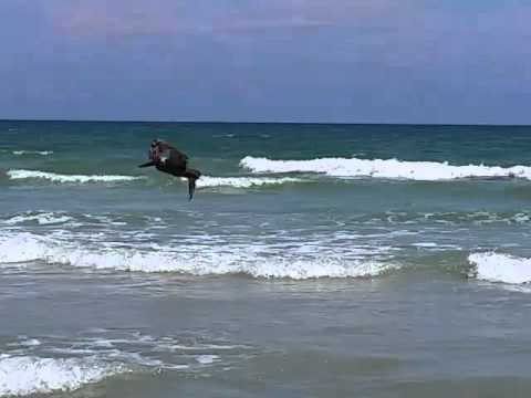 Daytona Beach Pelican Diving In Shallow Water