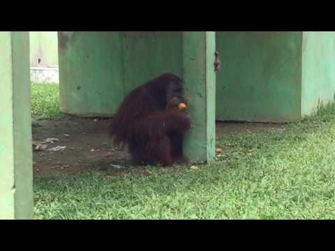 Mawas Hewan Langka Di Kebun Binatang Medan Sumut