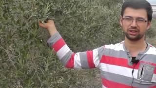 Ormus Tarım Zeytin'de Verim Artışı, Ormus Tarım  Daha Verimli Zeytin, Bamya'da Rekolte Kırdık