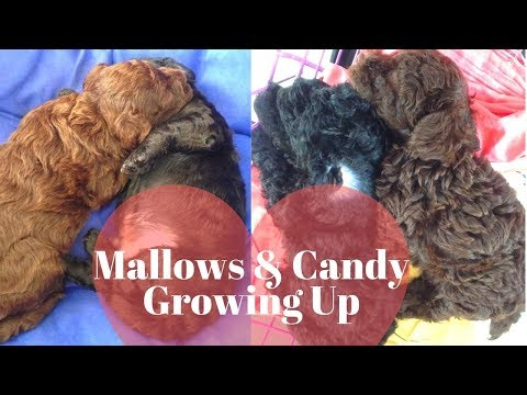 Toy Poodle: Mallows & Candy Growing Up from Newborn to 6 months old