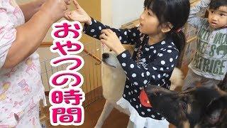 キャラメル大好きな孫達とワンコ達 秋田犬 惣右介もジャーマンシェパー...