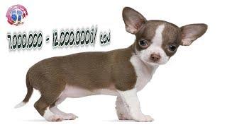 Top 10 giống chó cảnh được nuôi nhiều nhất Việt Nam