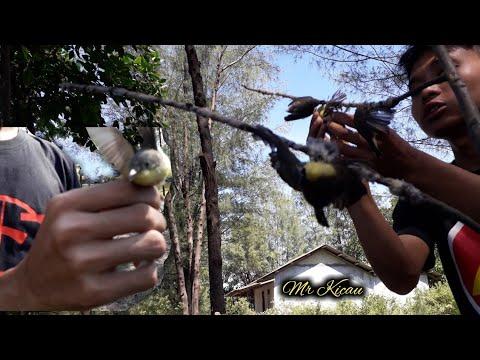 Download Lagu Mikat Burung Angin Angin Part 1 | Lokasi Pinggir Tambak Bandeng