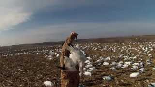 Redemption: 2013 Spring Snow Goose Hunting