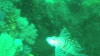 漁礁ポイントに居るミノカサゴ。 ダイバーに慣れているので快く被写体に...