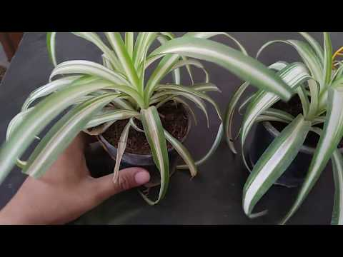 Spider Plants for Indoor Decoration By My Garden Store India