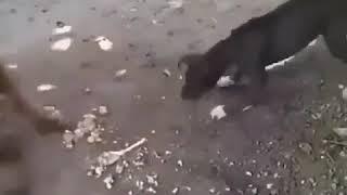 обезьяна бьё собаку!