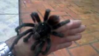 big spider saved j furtado salve a aranha gigante
