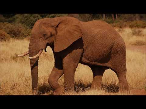 Animal sounds: Elephant trumpet