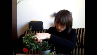 Как обрезать мини розу(, 2012-02-13T11:41:56.000Z)