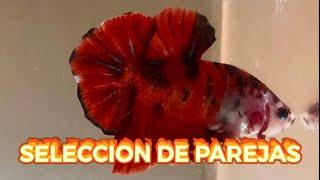 PEZ BETTA Preparación De Acuario Y Selección De Parejas Reproductoras BICHOSYMONSTRUITOS