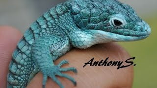 Blue Mexican Alligator Lizard
