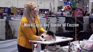 Vicki Nye's kitten final, CFA San Diego show Jan, 2011