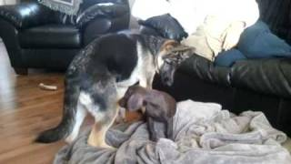 German Shepherd And Short-haired Pointer Playing