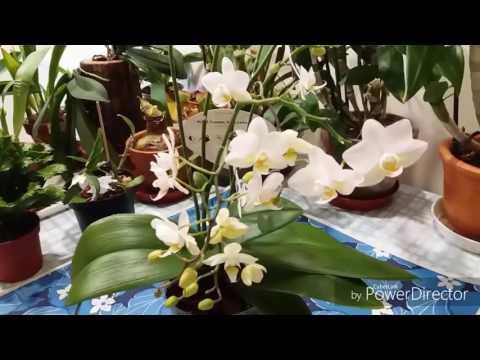 Орхидея Фаленопсис Jungle orchid с цветоносом из точки роста.