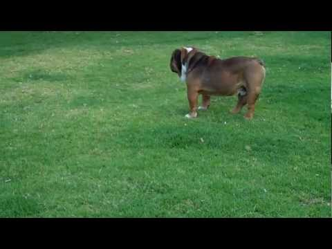 English Bulldog puppies for sale in Mauiexpo Kennel