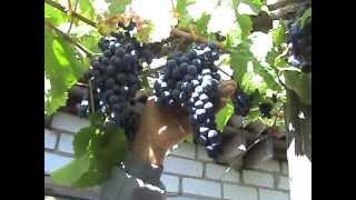 видео Виноград амурский (Vitis amurensis) и Древогубец вьющийся (Celastrus scandens)