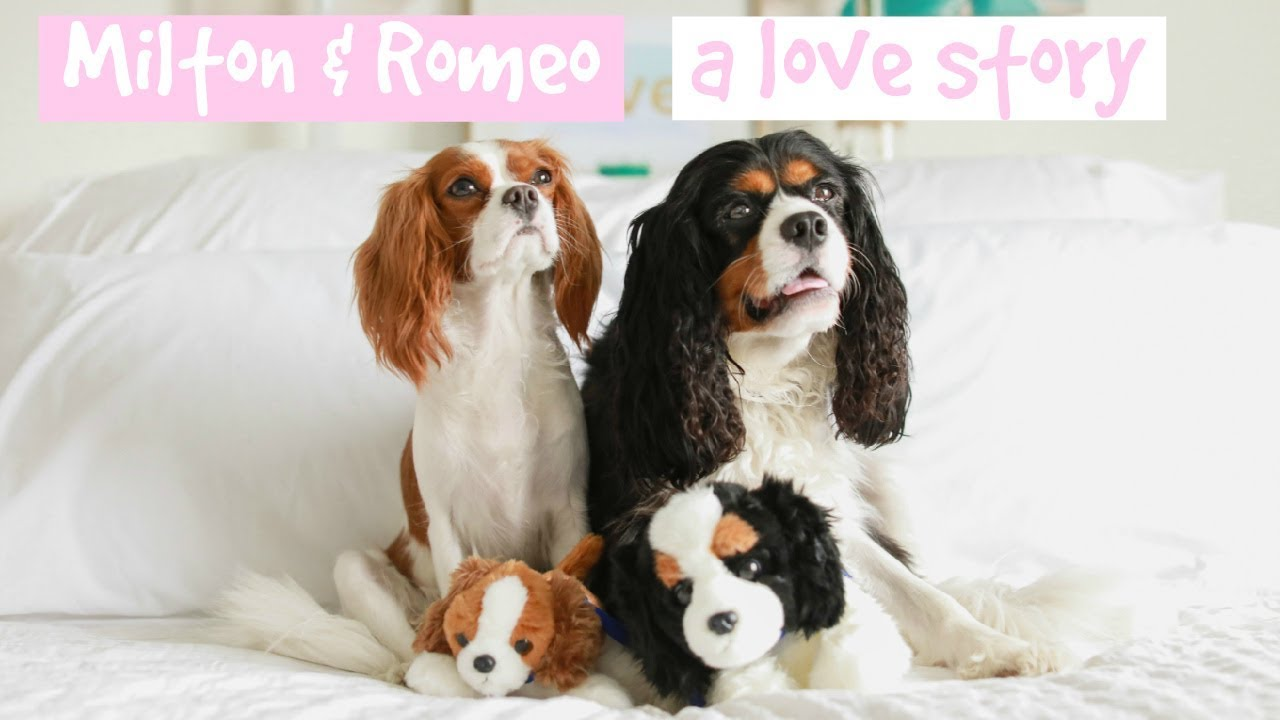 Image of: Esa Dear Puppy Milton Love Story Cavalier King Charles Spaniel Lovers Mooshme Dear Puppy Milton Love Story Cavalier King Charles Spaniel