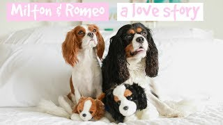 Dear Puppy Milton: A Love Story | Cavalier King Charles Spaniel lovers