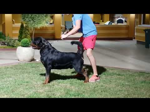 TIMIT TOR ROTTWEILER KENNEL SERBIA MAY JUNE 2018