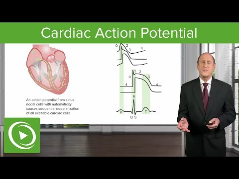 Cardiac Action Potential - Cardiology | Lecturio