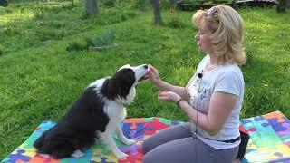 Как научить собаку ИГРАТЬ В ЛАДУШКИ - Трюки с собакой - Дрессировка собак
