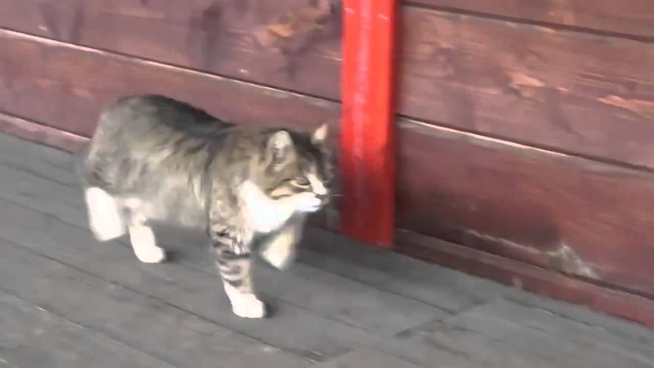 Cat Walk Like Horse