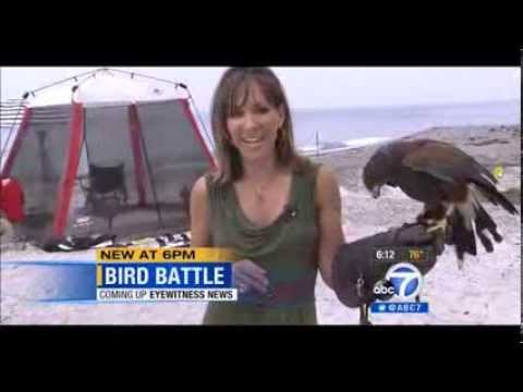 Seagull Abatement At The Beach Channel 7