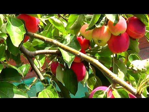 Райские яблочки. Что растет в моем саду?