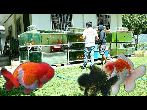 Imported Goldfish From Thailand | Lion Head Ranchu , Red White Oranda , Black Thai Ranchu
