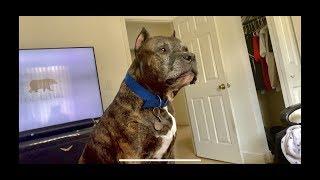 Pitbull Growling And Barking