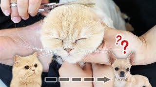털뿡뿡 고양이가 치와와로 변하는 과정