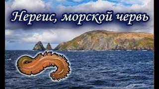 Нереис, морской червь. Русская Рыбалка.