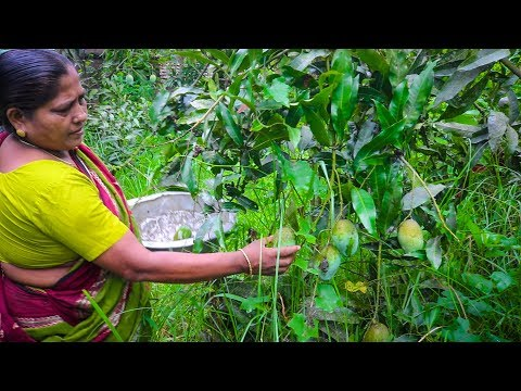 Village Life: Mango Collecting From Tree and Eating by Mom | Village Food Life