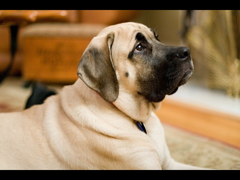 English Mastiff Dog History, Personality, Health, Care