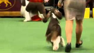 Westminster K.c. Usa Dog Show  2012 English Springer Spaniel