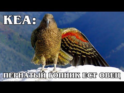 КЕА: Пернатый Эйнштейн и «клоун гор» с токсичным характером ест овец   Интересные факты про попугаев