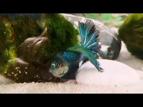 Male delta tail betta fish - Alan loves his moss balls