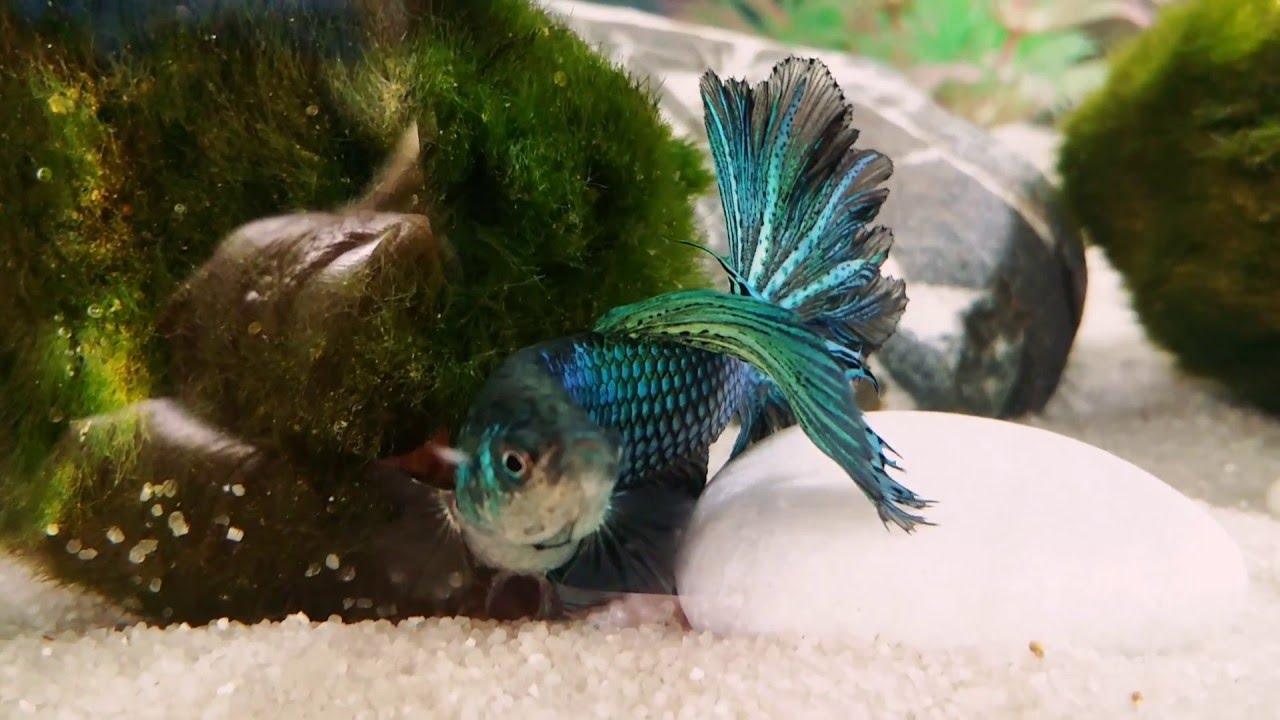 Male delta tail betta fish alan loves his moss balls for Betta fish moss ball