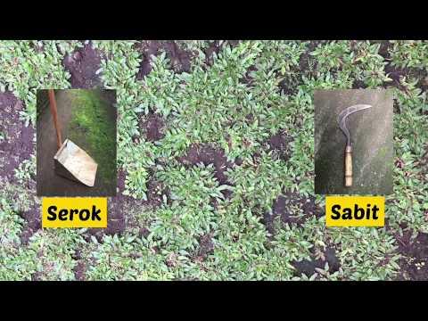 Cara mudah merawat Rumput Gajah (Pennisetum purpureum)
