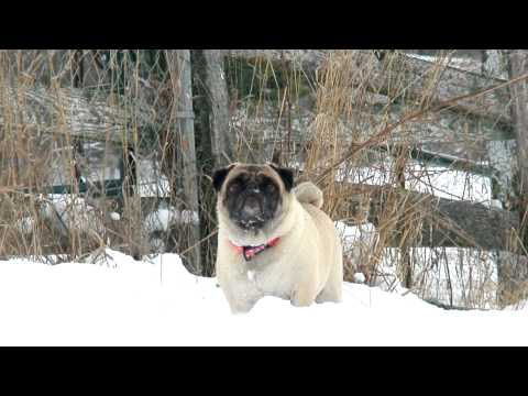 Puppy Love: Guide to Pugs ~ Pug Care 101