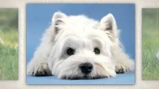West Highland White Terrier Temperament
