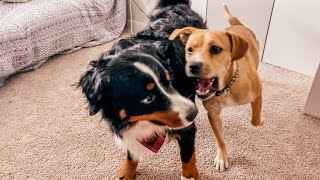 Bernese Mountain Dog And Foster Dog Playing