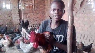 Poultry Farming in Uganda Kuroiler Chicken Enkoko Kuku Kazi Ni Kazi